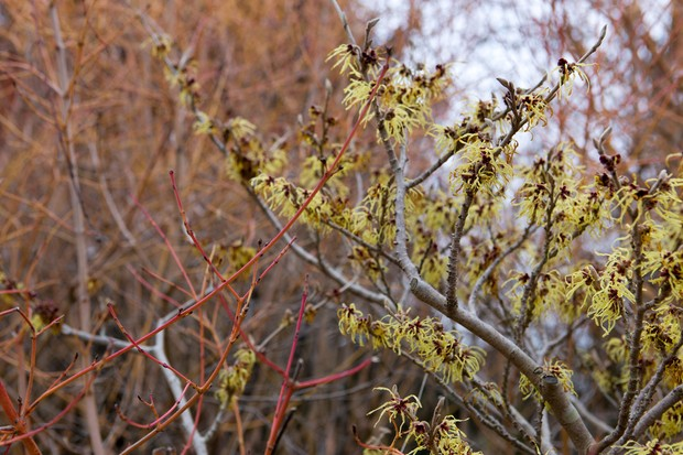 Yellow, spidery flowers of witch hazel