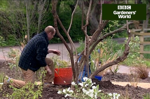 How to plant clematis under a shrub