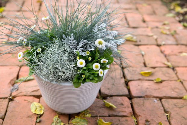 White daisies with silver/grey foliage of blue fescue, senecio and cushion bush
