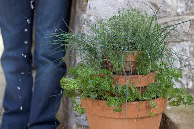 Thyme, parsley and chive herb pot