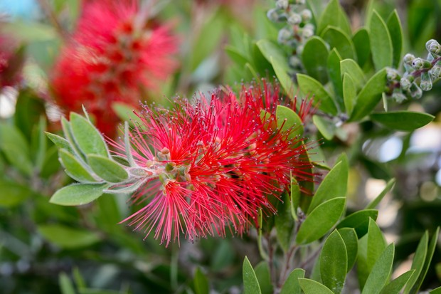 Red bristly flowers of the bottle brush plant