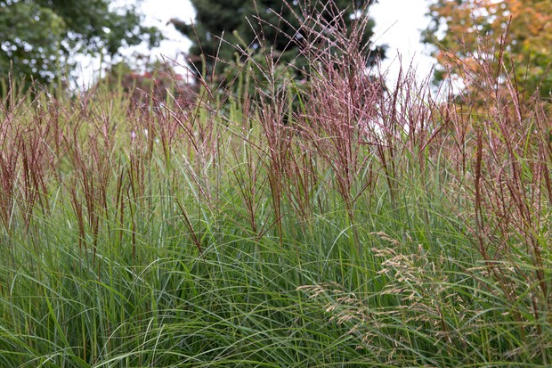 Tall miscanthus with brown seeheads