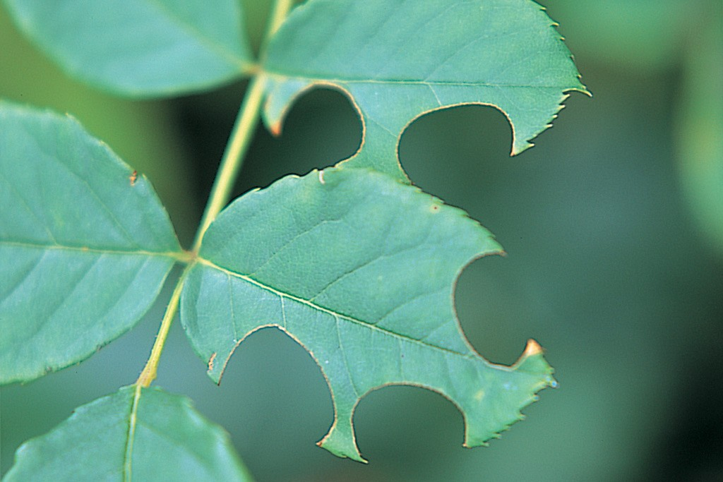 Leafcutter bee holes in rose leaves
