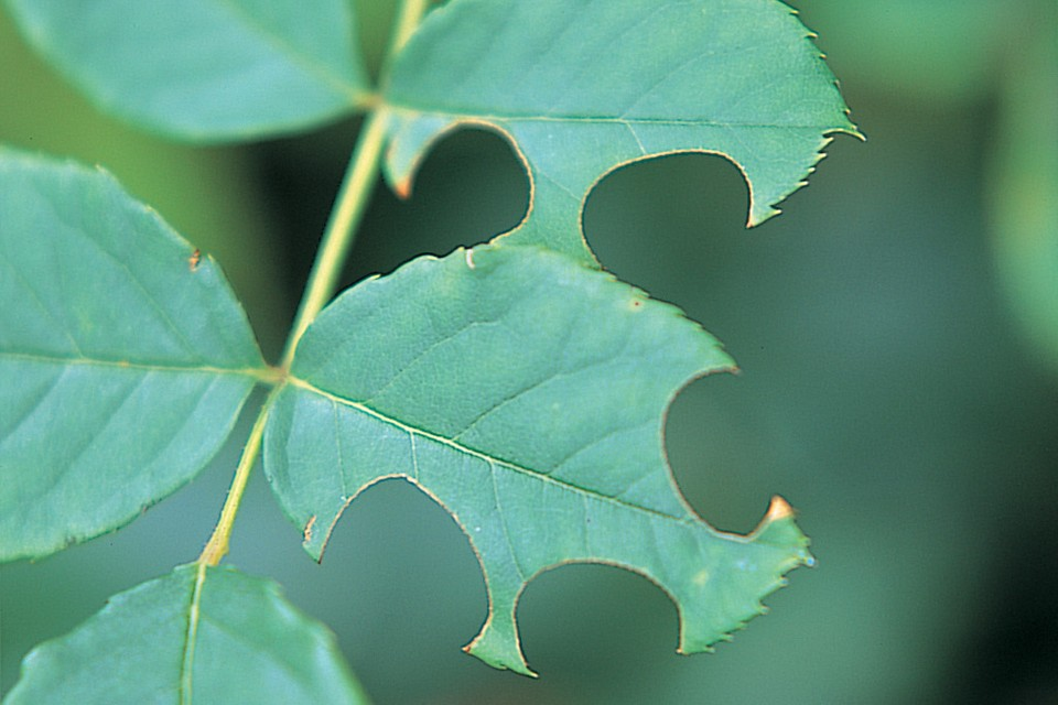 Problem Solving Leafcutter Bees Bbc Gardeners World Magazine