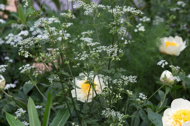 Cow parsley (Anthriscus sylvestris) with peonies