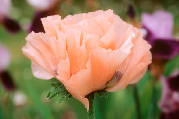 papaver-orientale-maidens-blush-2