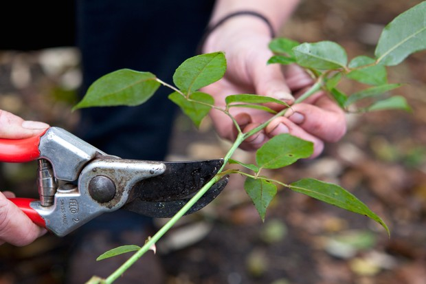 pruning-rose-stems-2