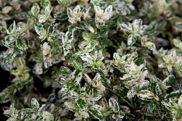 euonymus-fortunei-harlequin-2