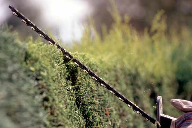 How to trim a conifer hedge