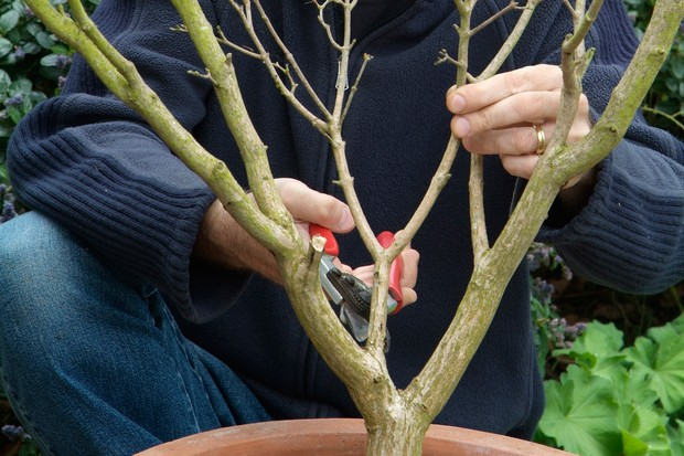Pruning a dormant acer with secateurs
