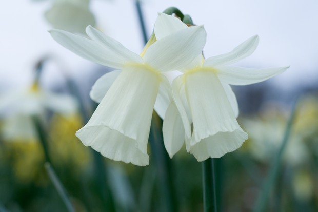 Long green-white trumpets and petals of a pair of Narcissus 'Horn of Plenty' blooms