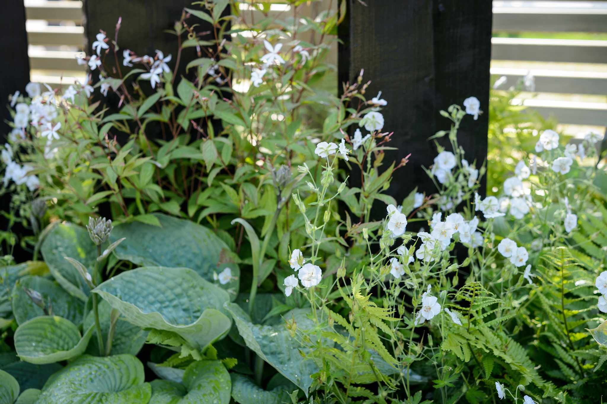 Hostas and geraniums