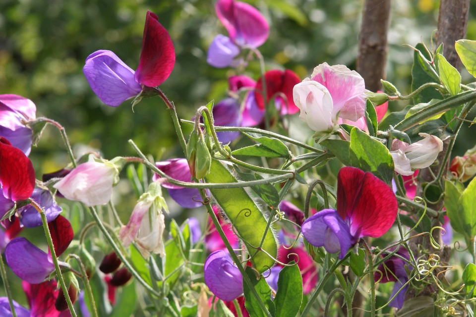 10 Scented Climbing Plants To Grow Bbc Gardeners World Magazine