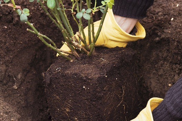 Placing the plant in the hole