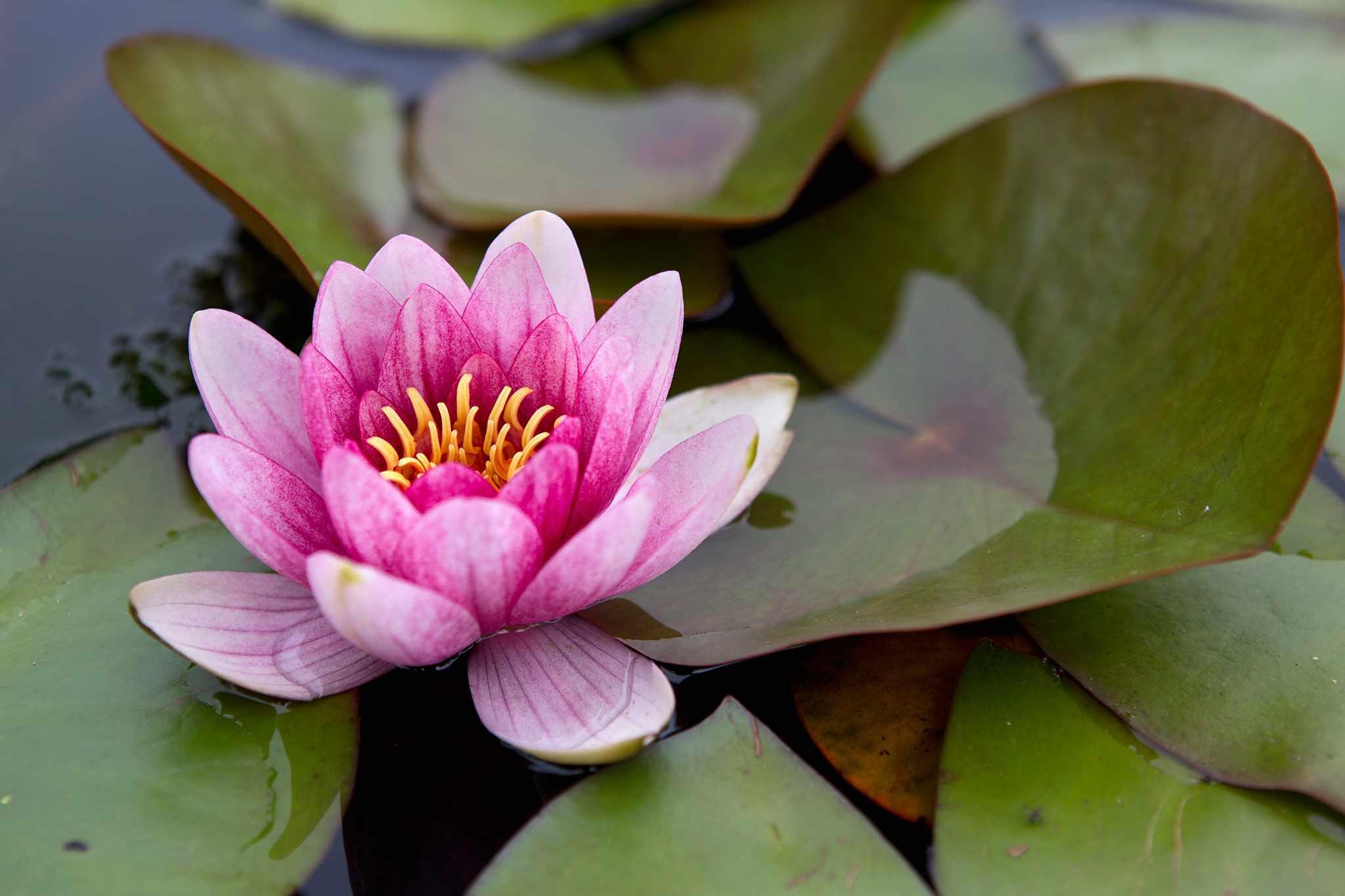 Tips on growing waterlilies (Nymphaea)