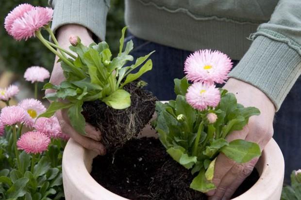 Planting the bellis daisies