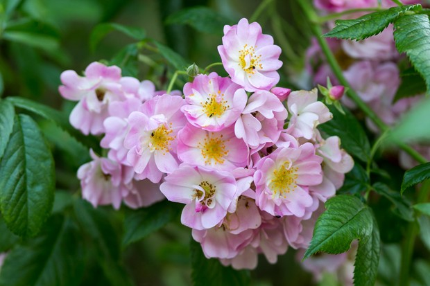 A cluster of pink and white flowers of Rosa 'Ballerina'