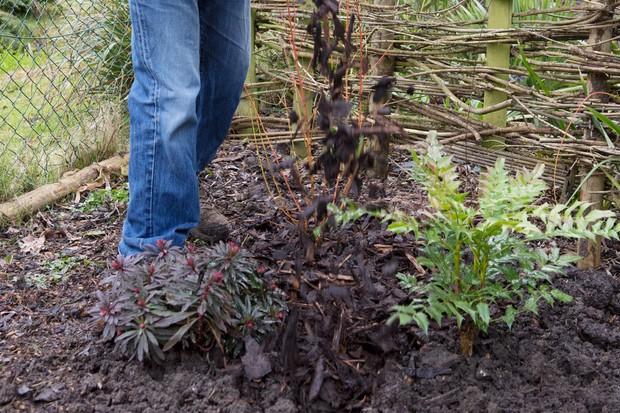 mulching-around-a-perennial-plant-3