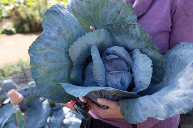 Harvesting cabbages