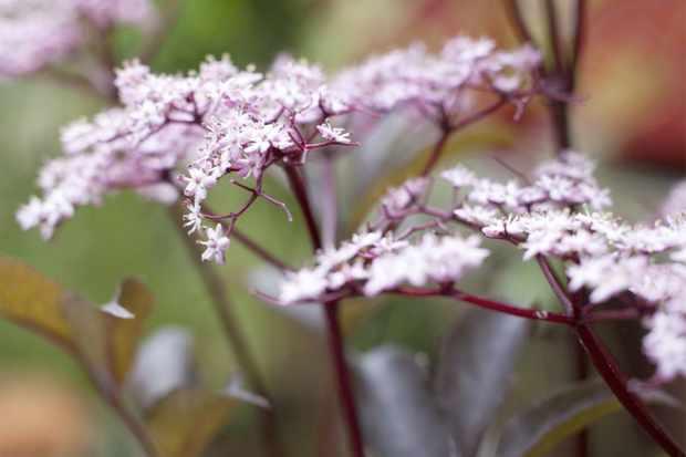 sambucus-nigra-f-porphyrophylla-eva-2