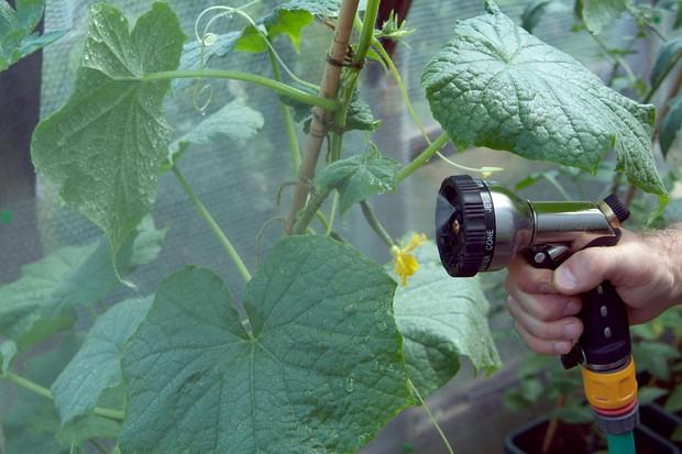 Misting cucumbers in a greenhouse