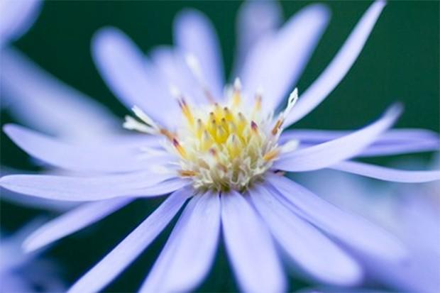 A pale-purple flower of aster 'Little Carlow'