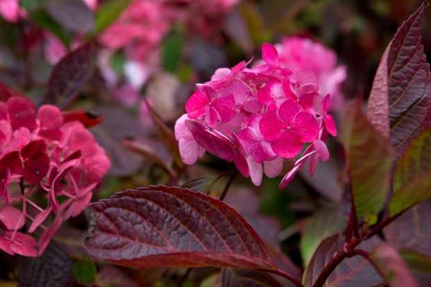 Deep pink hydrangea blooms