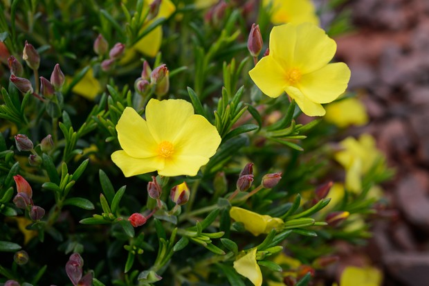 Yellow cistus flowers