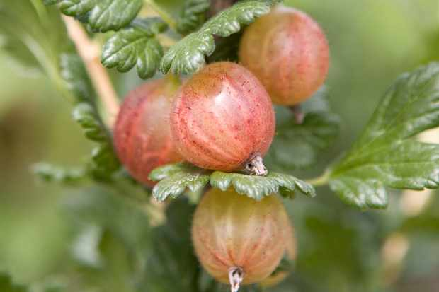 Rosy gooseberries ripening on the bush