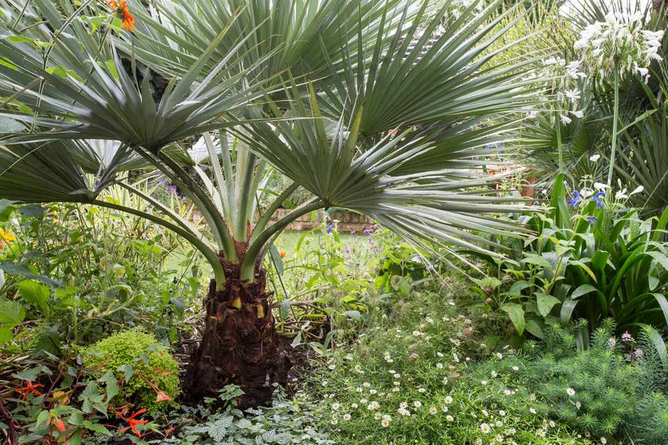 White aliums and a striking palm in a border