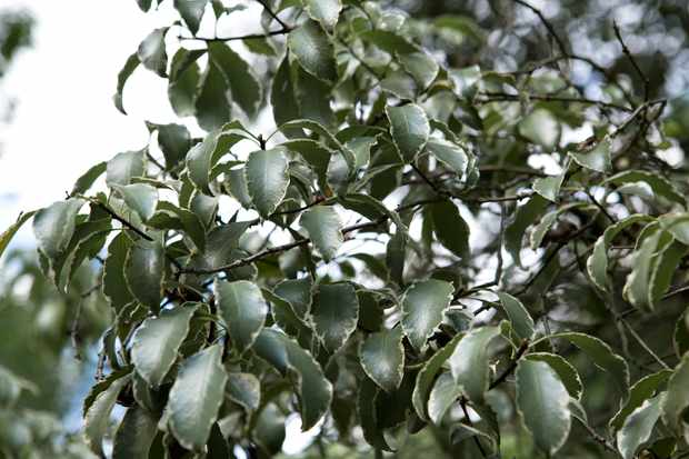 pittosporum-tenuifolium-silver-queen-3