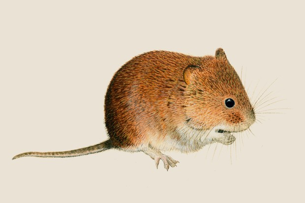 An illustration of a chestnut-brown bank vole, with small ears, a round face and flat snout