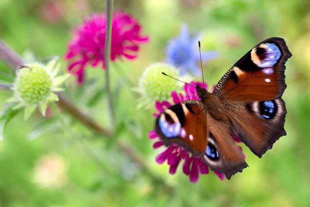 peacock-butterfly-on-scabious-2