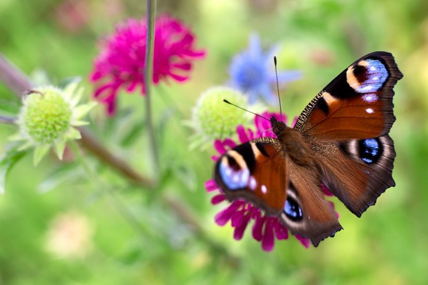 A peacock butterfly on a scabious flower