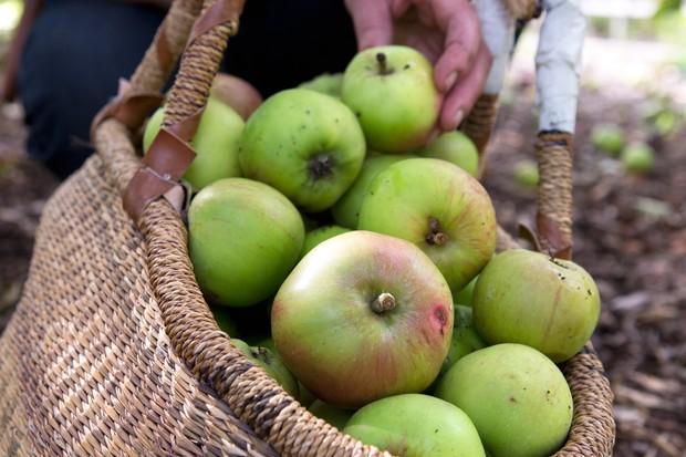 harvested-apples-4