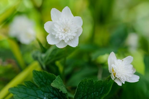 Double, white Anemone nemorosa 'Vestal'