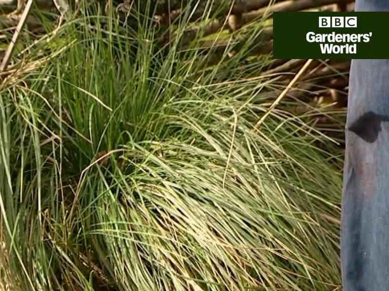 How To Cut Back Ornamental Grasses Gardeners World Magazine