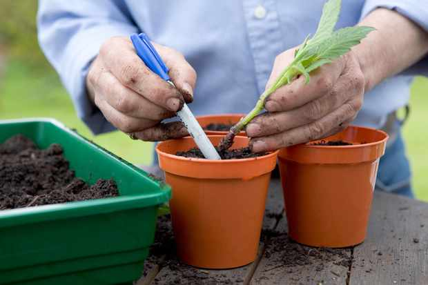 How to take basal cuttings from dahlias