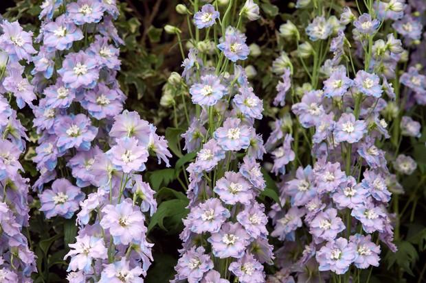 delphinium-spindrift-flowers-2
