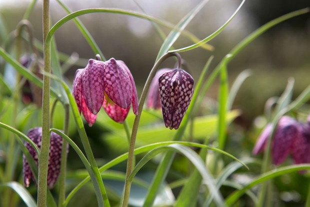Magenta, chequered snake's head fritillary flowers