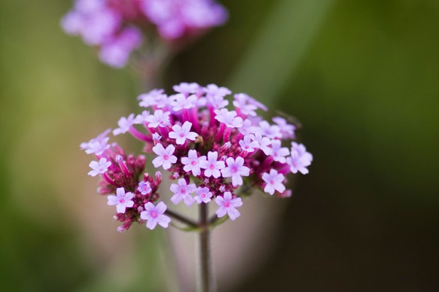 Clusters of tiny violet verbena flowers