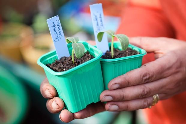 Cucumber seedlings in pots