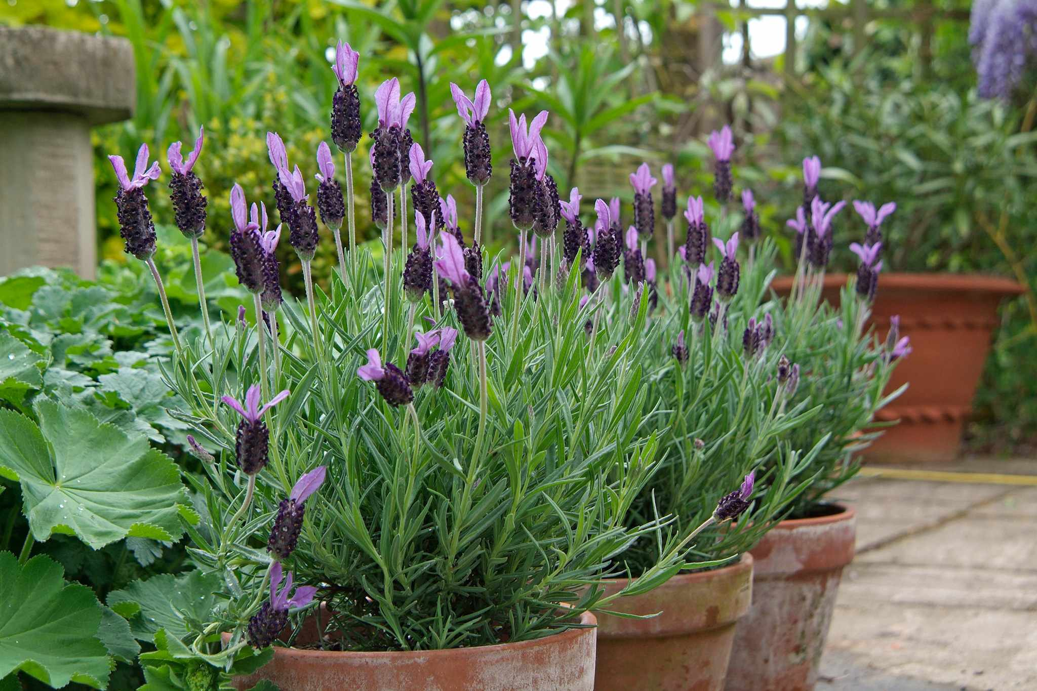 Lavender stoechas