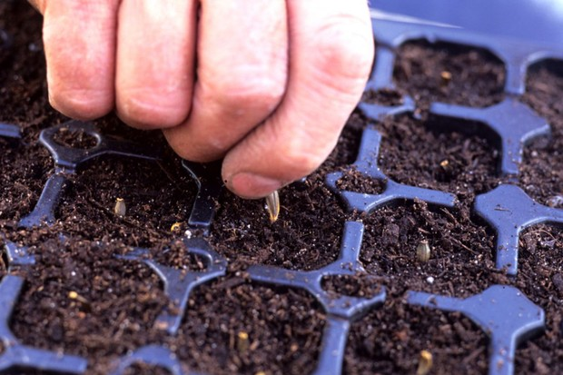 sowing-dahlia-seed-2