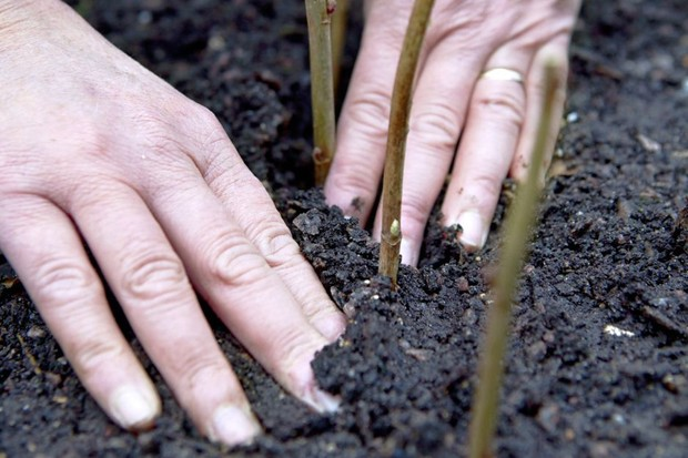 Taking blackcurrant cuttings - filling soil around the cuttings