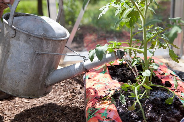 Pouring water from a can onto the base of tomato plants in order to keep the foliage dry