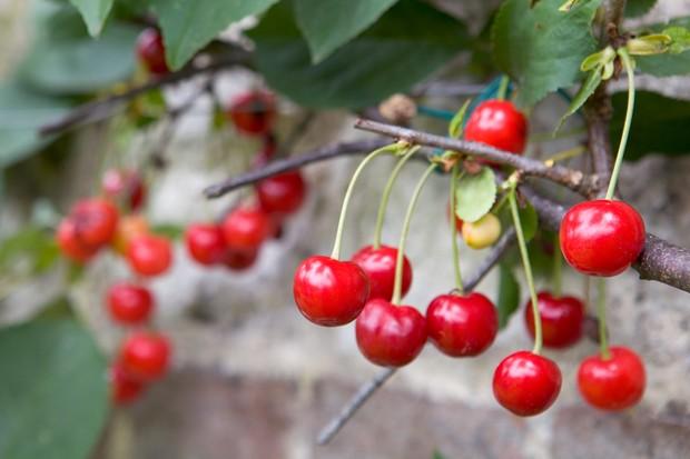 cherry-morello-3
