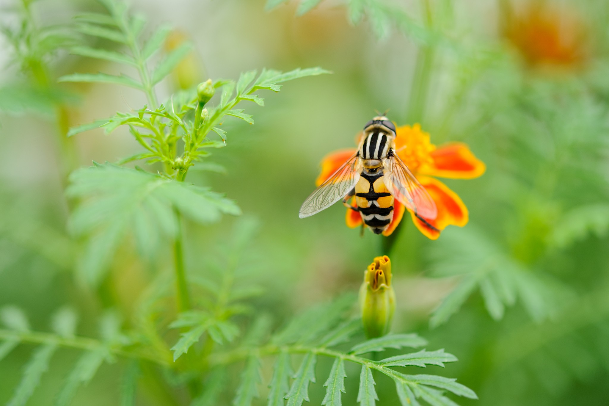 Best Flowers for Hoverflies