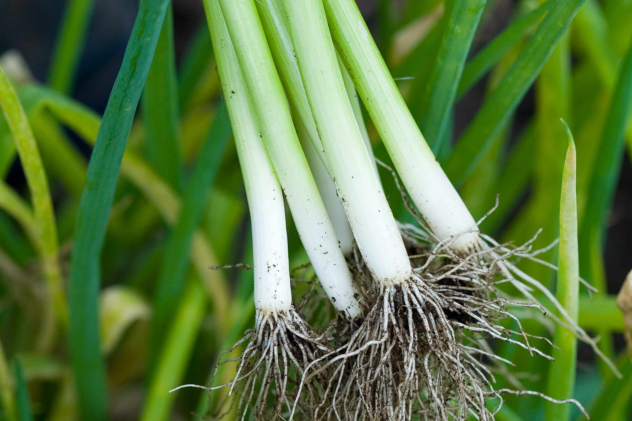 Spring Onions – Grow Guide