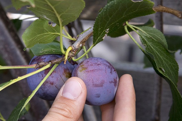 Why doesn't my plum tree fruit every year?